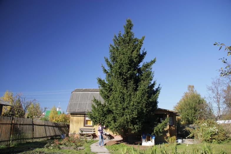 Примета сажать елку возле дома 582