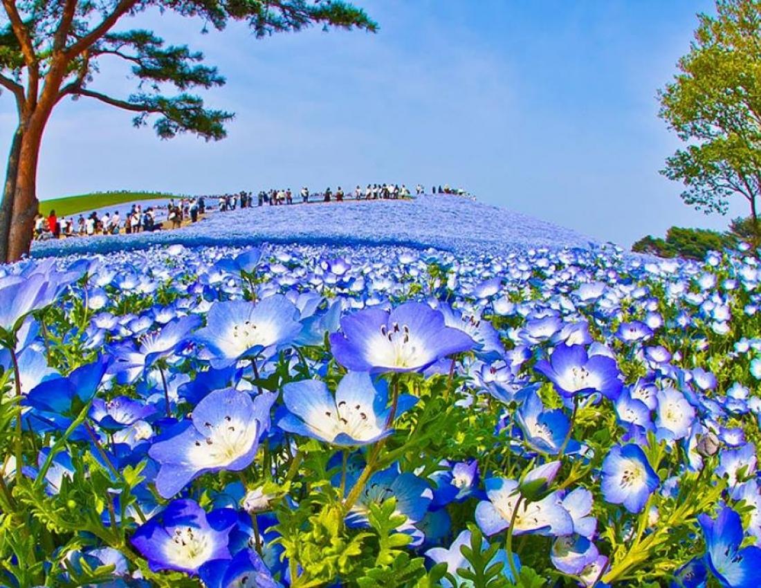 Синие цветы с названиями - Фото цветов 66