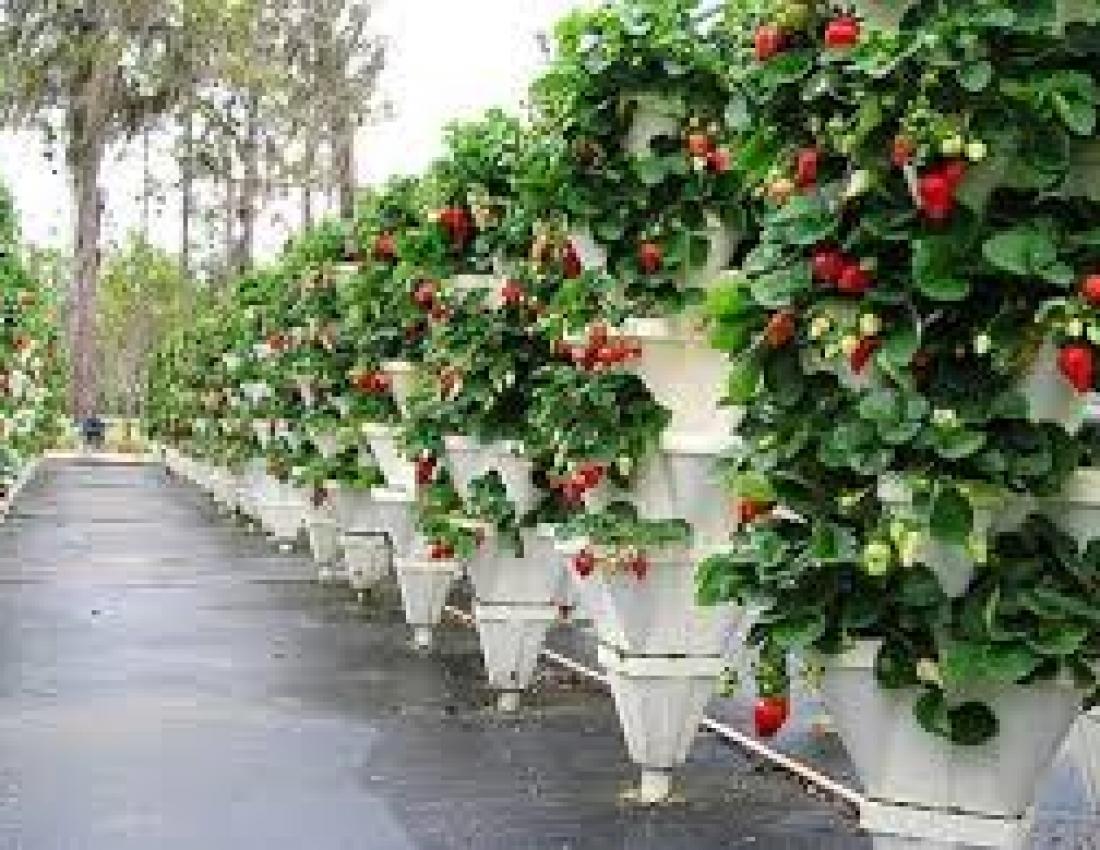 Как выращивать клубнику. способы посадки и этапы развития да.