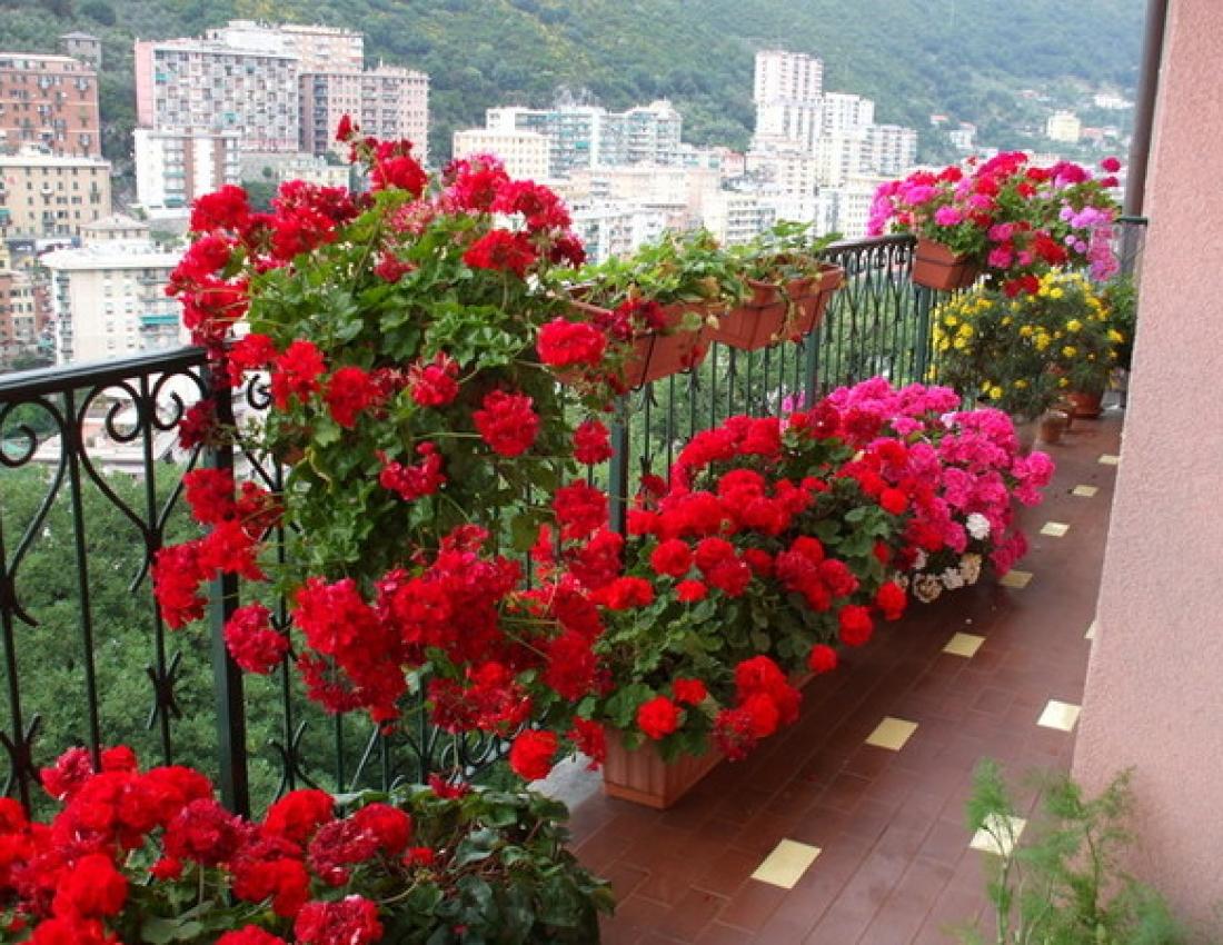 Пеларгония на балконе фото.