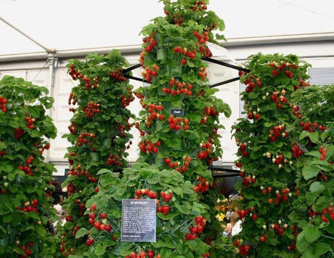 Клубника на балконе выращивание.