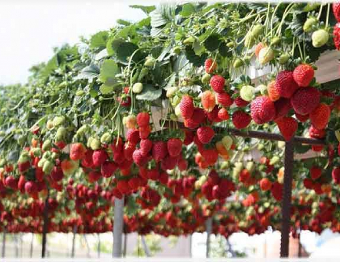 Бизнес идея: выращивание клубники круглый год.