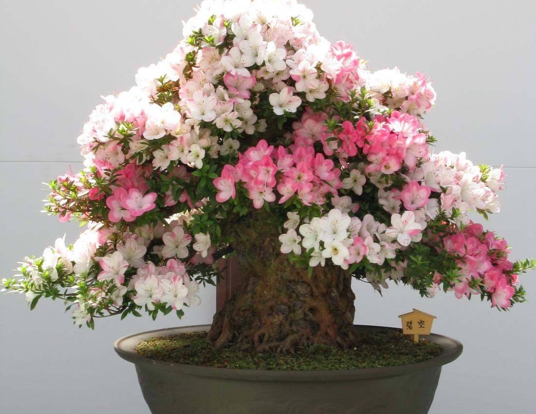 Цветок рододендрон: посадка и уход