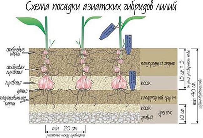 Как и когда рассаживать лилии
