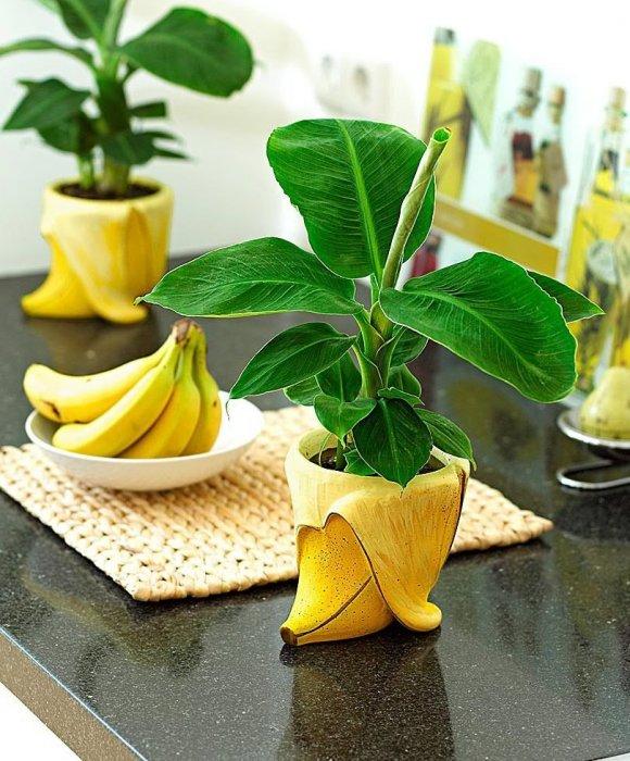 Как в домашних условиях вырастить банановое дерево в