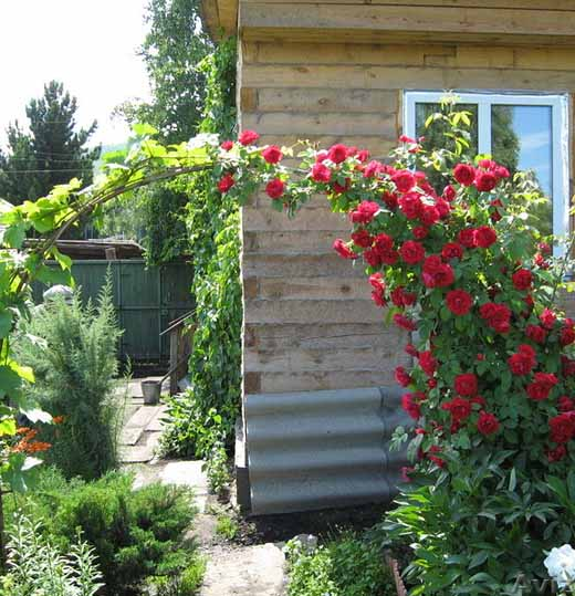 Секреты выращивания роз на даче 84