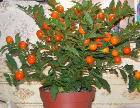 Выращивание хурмы в домашних условиях... Новости Всеукраинская ассоциация пенсионеров